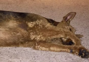 airedale amos